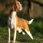 Bagle hound