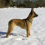Belgian Shepherd Dog (Malinois)