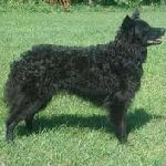 Croatian Sheepdog